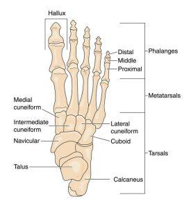 Foot Pain- Foot Anatomy
